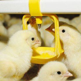 broiler-poultry-farm