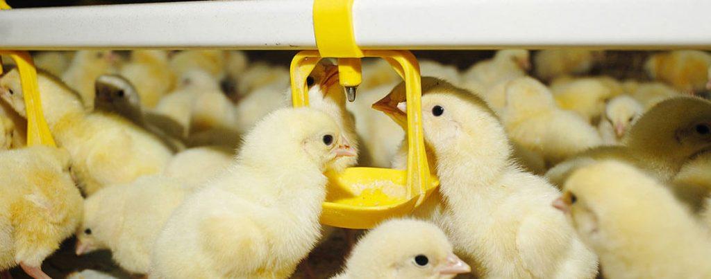 broiler-poultry-farm2